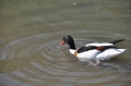 shelduck, shelducks-6