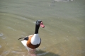 shelduck, shelducks-7