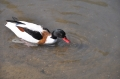 shelduck, shelducks-8