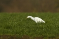 cattle egret, cattle egrets,-2