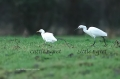 cattle egret, cattle egrets,-3