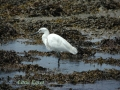little egret, little egrets,-1