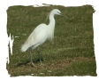 little egret, little egrets,-4
