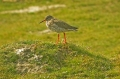 redshank, wader, redshanks-1