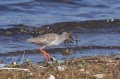 redshank, wader, redshanks-3
