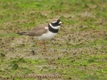 ringed plover, ringed plovers