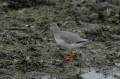 spotted redshank, redshanks,-7